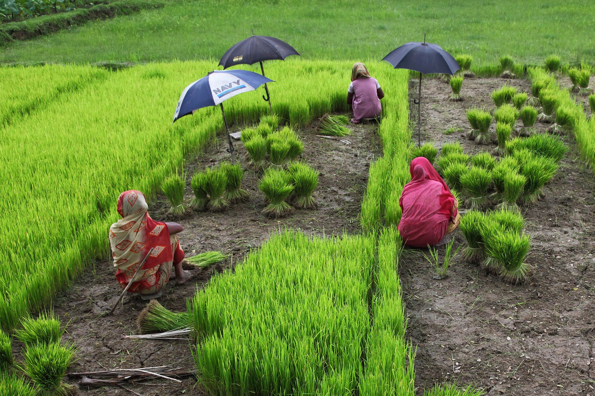 Bangladesh Women and Rice