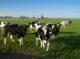 Attachment koeien in wei 80x59