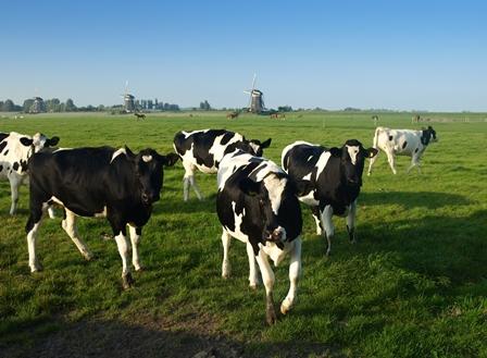 Nederlands kalfs- en rundvlees weer toegestaan in VS