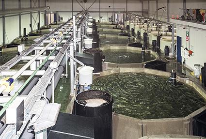 Duurzaam kweeksysteem voor Kingfish Zeeland