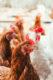 Attachment schuttelaar partners chicken 53x80