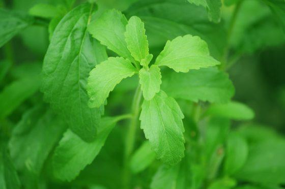 EFSA overweegt limiet in te stellen voor kaurenoïnezuur in Stevia