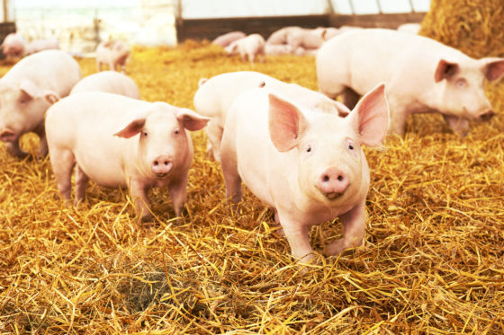 AgOS en Frievar starten blockchain-pilotproject in varkensketen