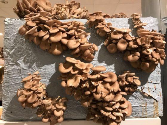 Albert Heijn kweekt oesterzwammen op koffiedik