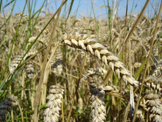 Duitse fabriek Cargill stapt over op tarwe