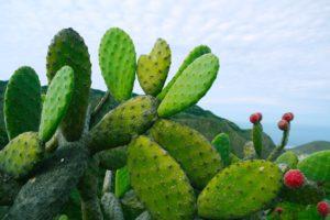 Mexicaanse wetenschapper creëert biologisch afbreekbaar plastic van cactus