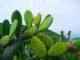 Cactus 80x60