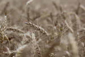 Cargill switcht van mais naar tarweverwerking op locatie in Duitsland