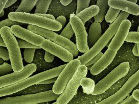 Veel darmbacteriën gevonden in vleeshouderij