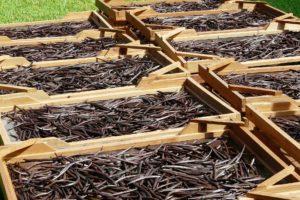 Productie van peperduur vanille wordt geoptimaliseerd op Madagaskar