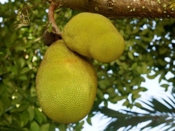 Meet Jack en Bolscher produceren samen vegan jackfruit producten