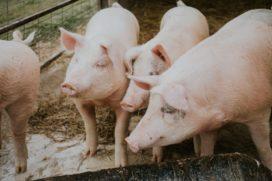 Varkensvlees PLUS alleen nog maar van Nederlandse varkens