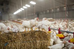'92% van de dieren valt niet onder Beter Leven-keurmerk van Dierenbescherming'