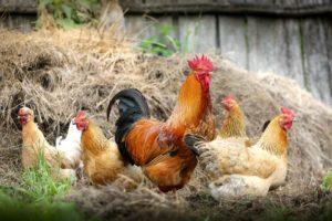Kipster en Lidl introduceren rookworst van legkip