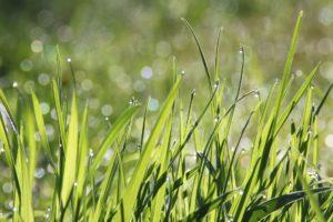 DTU: 'Gras is een duurzaam plantaardig eiwit'
