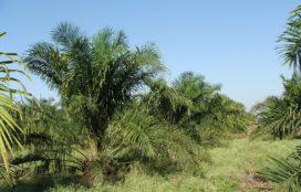 Greenpeace: Unilever, Mondelez en Nestlé kopen palmolie van bosverbranders