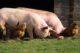 Pigs 4125935 19201 80x53